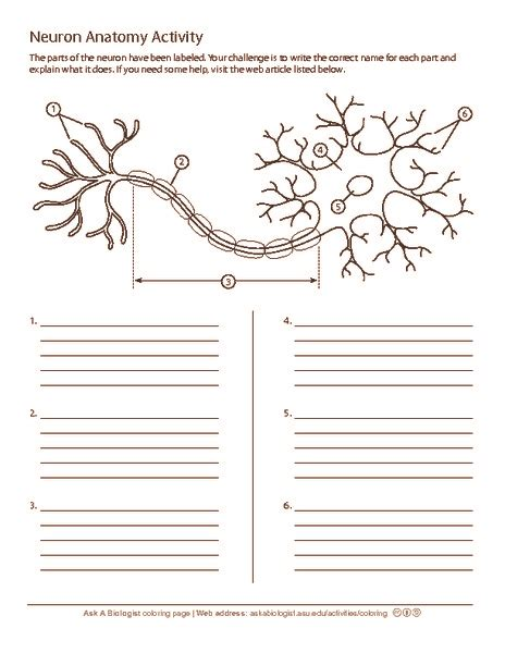Neuron Worksheet worksheets neuron worksheet opossumsoft worksheets and