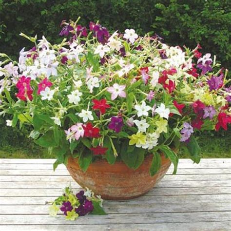 Pot Bunga Uk 40cm nicotiana plants f1 perfume mix