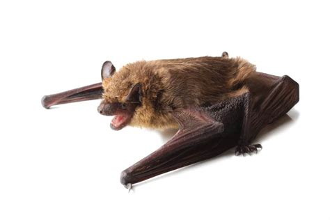 what to do if there s a bat in your house and how to keep