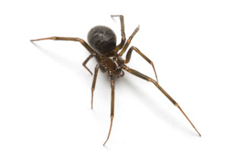 sw spider house spiders east bay pest control
