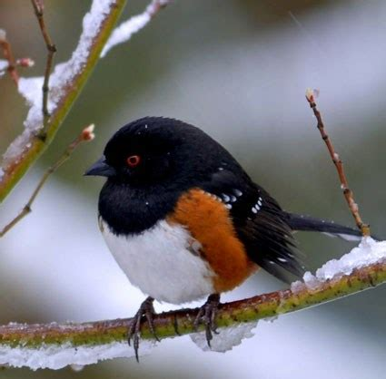 spotted towhee identification all about birds cornell