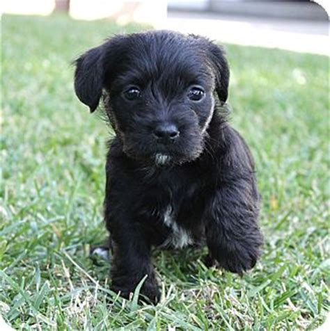 havanese shih tzu mix temperament avalon adopted puppy la habra heights ca havanese shih tzu mix