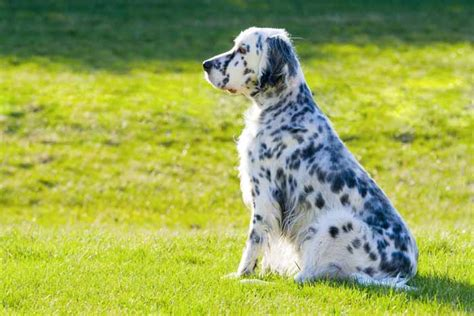 small setter dogs 35 best medium and small dogs for kids top dog tips