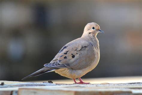 mourning dove heatherandkyle