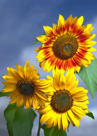 fiori ascii gif sunflowers gif sunflowers 3d postcard greeting