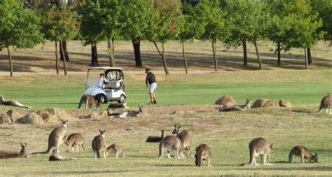 kangaroo swing kangaroo mob invades aussie golf course
