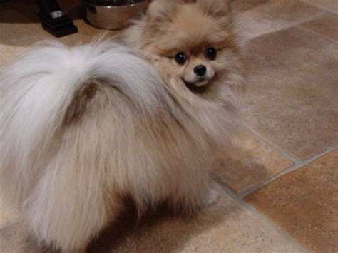 cute pomeranian haircuts 1611 best for the love of poms images on pinterest