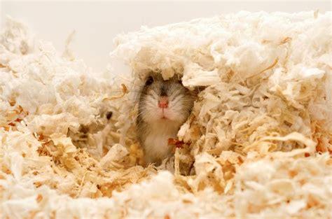bedding for hamsters dwarf hamster bedding