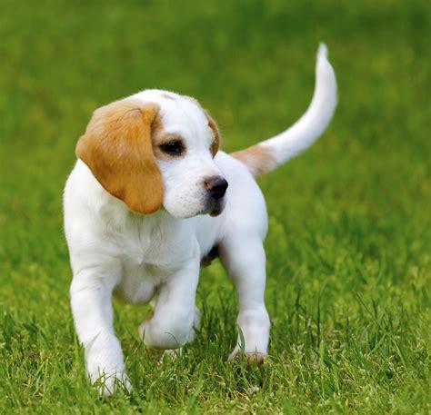 beagle colors 25 fascinating lemon beagle facts