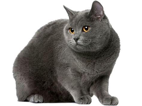 foto dei gatti persiani certosino razze dei gatti