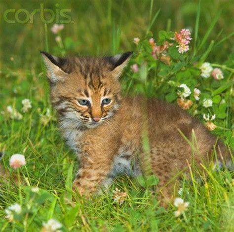 bobcat cub | precious | pinterest