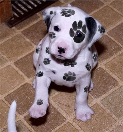 dalmatian puppies for sale in ny 2 and dalmatian puppies available new york usa free classifieds