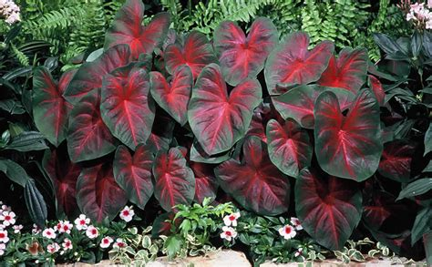planting bulbs caladium with video