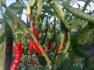 Pupuk Npk Yang Bagus jenis pupuk cabe yang bagus untuk tanaman cabe tips petani