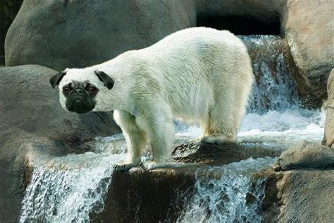 polar pugs pug polar pug