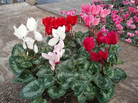 come curare i ciclamini in vaso il ciclamino piante appartamento come curare il ciclamino