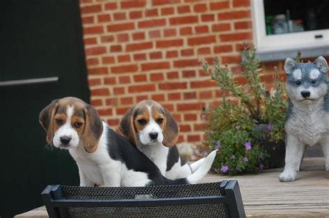 beagle puppies available tri coloured beagle puppies available now offer