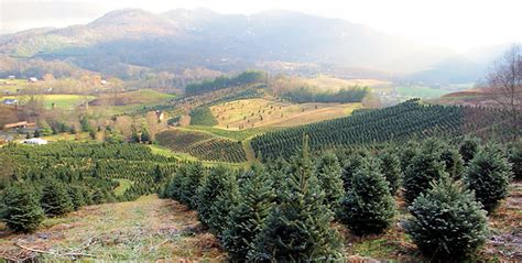 nc mountains tree farm boyd mountain tree farm buy haywood