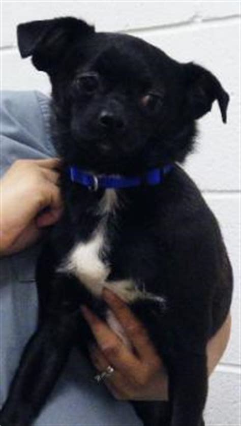 black pug chihuahua mix adoptions capo black and white pug chihuahua mix neutered black and