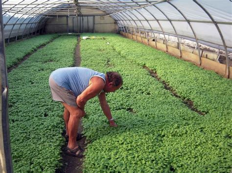 piantare il basilico in vaso piantare basilico ortaggi consigli di coltivazione