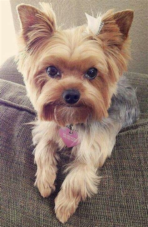 hair cut for tea cup yorkies 21 best yorkie haircuts images on pinterest yorkies