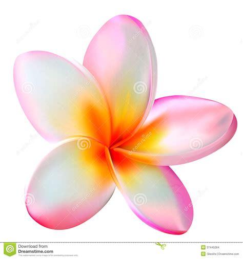 plumeria vector plumeria flower clipart clipart suggest