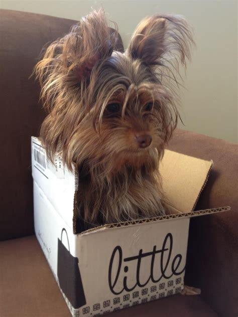my yorkie ate chocolate 40 best images about chocolate yorkies on stud muffin yorkie and 9 month olds