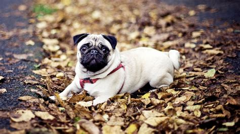 pug puppies hd wallpapers pug hd wallpaper wallpapersafari