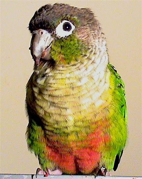 baby parrot called green cheek conure droppings 5 types of droppings that he s sick green cheek conure