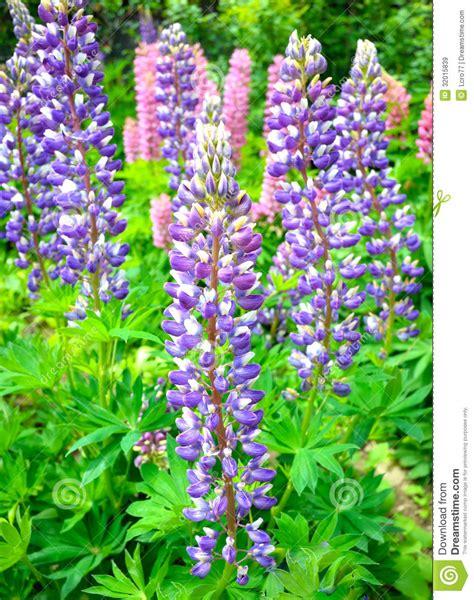 swedish blue swedish blue orchid royalty free stock images image