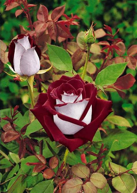 rose can 30 osiria rose hybrid rare rose seeds fresh exotic blood red