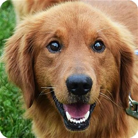 golden retriever rescue new orleans 17 best images about setter mixed on