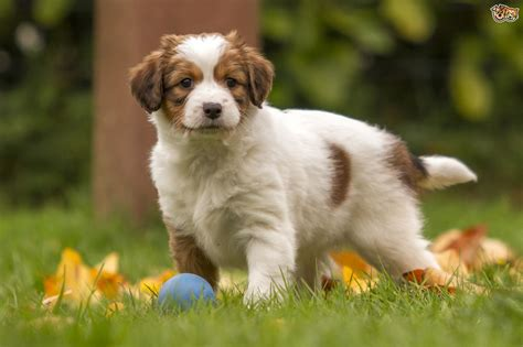 what are the types of dogs kooikerhondje breed information buying advice photos and facts pets4homes