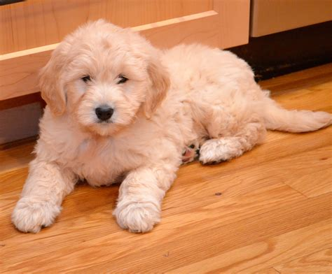 goldendoodle puppy not goldendoodle puppy timberidge goldendoodles