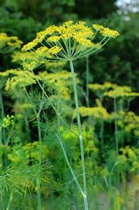 Dill Anethum graveolens   ZHONG WEI Horticultural Products
