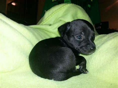 Datsun Puppies by Chiweenie Puppy 5 Weeks Villain Datsun