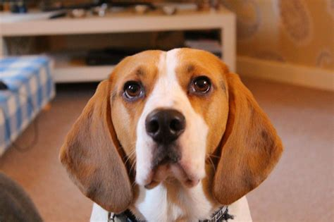 beagle for sale beagle for sale chester cheshire pets4homes