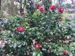Gardenia Zone 6 Zone 6 Camellia Plants Choosing Camellias For Zone 6