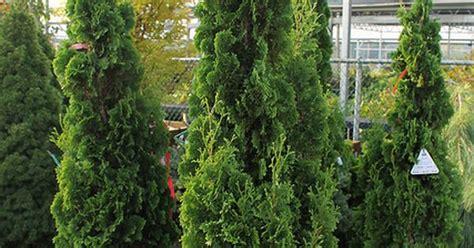 Arborvitae Patio Degroots Spire Arborvitae These Look Like Hinoke But Are