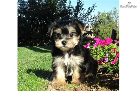 teacup yorkie for sale near me craigslist morkie puppy san diego maltese x yorkie is a maltese breeds picture