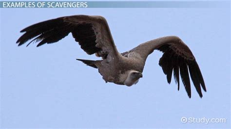 scavenger animals definition examples video lesson transcript studycom