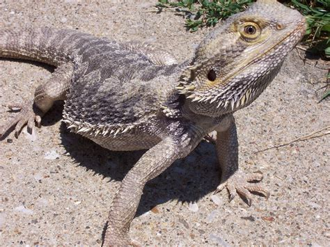 reptile shop owner beat employees with bearded dragon lizard