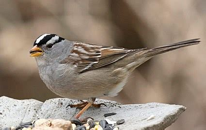 white throated sparrow, identification, all about birds