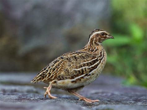 birds of the world quail