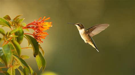 Natur E hummingbirds nature pbs