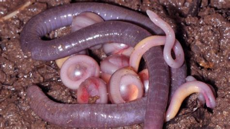 Made Egg Wormer India Eg001 these earthworms are actually an entirely new family of