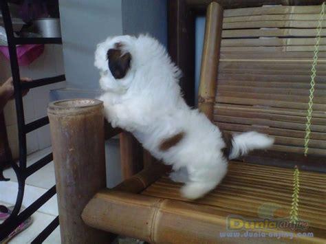 Mini Shih Tzu Istimewa dunia anjing jual anjing shih tzu mini shitzu putih