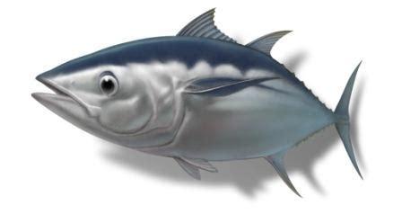 Abon Baby Ikan Tuna Ikan Patin jual abon ikan tuna resep masakan ikan tuna resep