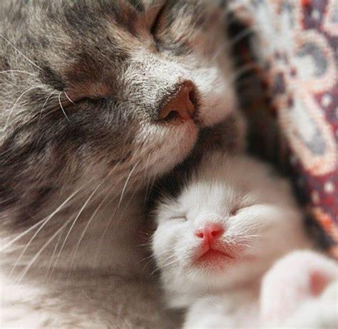 newborn kittens cat nap