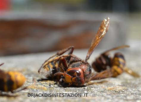 calabroni nel camino vespe e calabroni